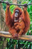picture of orangutan  - Mother and baby orangutans with a green background - JPG