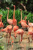 stock photo of flamingo  - Flock of Pink Caribbean flamingos in front of green shrubs - JPG