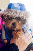 stock photo of yorkshire terrier  - yorkshire terrier in a suit with hood - JPG