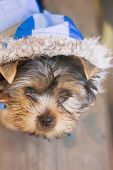 pic of yorkshire terrier  - yorkshire terrier in a suit with hood - JPG