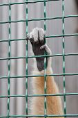 stock photo of hairy  - One Hairy hand monkey in a cage - JPG