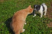 picture of little puppy  - A little funny puppy white with black spots acquainted with ginger cat - JPG