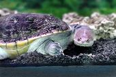 stock photo of water animal  - Image amphibian exotic animal Chelidae in water - JPG