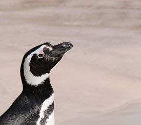 picture of cheeky  - The Head and Shoulders of a Cheeky Magellanic Penguin - JPG