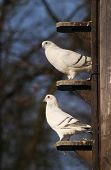 picture of pigeon loft  - white pigeons doves in dovecot czech republic - JPG