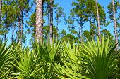 picture of saw-palmetto  - The beautiful pine flatwoods of central Florida on a sunny day - JPG