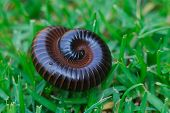 image of millipede  - Close up of a Millipede rolled up on the grass - JPG
