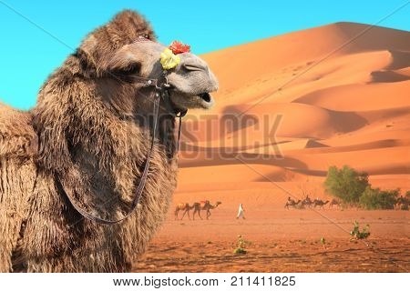 Bactrian camel Camelus bactrianus and