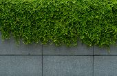 Green Leave Ivy Covered Concrete Wall Texture Background. Plant Wall For Air Purifying. Green Wall I poster