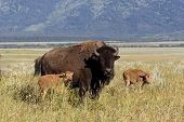 pic of caw  - Bison cow with two babies in Grand Teton National Park - JPG