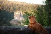 Dog At Gothic The Castle. Nova Scotia Duck Tolling Retriever In Nature On The Background Of Beautifu poster