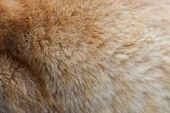 Feline Fur Texture Background, Fluffy Shorn Gently Red. poster