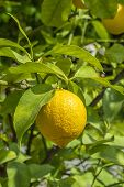 Lemon Tree With Ripe Yellow Lemon Fruit Hanging On A Branch Among The Leaves. Citrus Lemon In Nature poster