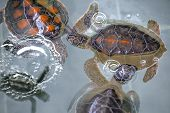 Close-up Of Baby Hawksbill Sea Turtles Cuddling In Nursery Pool. Young Endangered Hawksbill Sea Turt poster