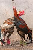 stock photo of fighting-rooster  - this picture is  Fighting Cock in thailand - JPG