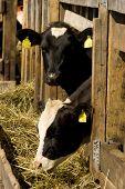 stock photo of feedlot  - Two cows feeding hay in a farm - JPG