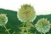 Wild Fuzzy Greenish Plant By Summer Time poster