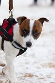 The Jack Russell Obediently Performs Winter Training poster