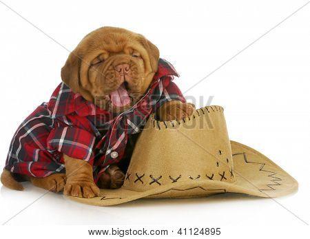 Постер, плакат: милый щенок де Бордо щенка изрядно одетые как собака страны, холст на подрамнике
