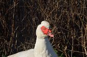 picture of crested duck  - Head and shoulders of Muscovy Duck near camera - JPG