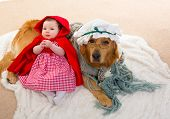Baby Little Red Riding Hood with wolf dog dressed as grandma golden retriever