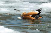 picture of animals sex reproduction  - Tadorna ferruginea Ruddy Shelduck - JPG