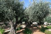 picture of gethsemane  - Olive trees in Garden of Gethsemane Jerusalem - JPG