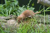 stock photo of ermine  - Weasel on a branch looking for food - JPG