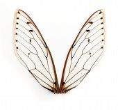 picture of exoskeleton  - A pair of cicada insect wings on white background - JPG