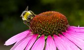 Bee on pink echinacea (cone) flower.