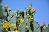 stock photo of prickly-pear  - This is a Texas Prickly - JPG