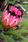 foto of ripper  - Protea Burchellii