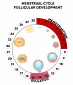 pic of ovary  - Menstrual cycle graphic detailed follicular development illustration menstruation and ovulation days - JPG