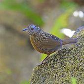 picture of babbler  - Babbler bird Streaked Wren Babbler  - JPG