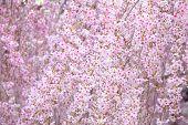 foto of weeping  - Weeping sakura - JPG