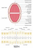 stock photo of molar  - vector illustration of diagram of human dental anatomy - JPG