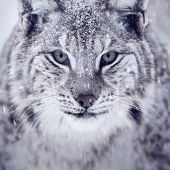 picture of apex  - A european lynx portrait in the snow - JPG