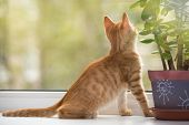 Small, Orange Kitten  Look In The Window