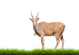 foto of eland  - eland with green grass isolated on white background - JPG