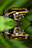 stock photo of poison arrow frog  - Poison dart frog Dendrobates lamasi with reflection - JPG