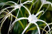 stock photo of monocots  - Beautiful white lily flowers in a garden - JPG