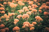 pic of cockscomb  - Orange Celosia or Wool flowers or Cockscomb flower in the garden or nature park vintage - JPG