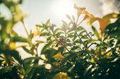 foto of trumpet flower  - Golden Trumpet flower or Allamanda cathartica in the garden or nature park vintage - JPG