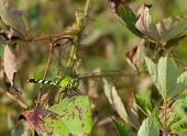 stock photo of stick-bugs  - Green dragonfly on a leaf ready to eat more flying bugs - JPG