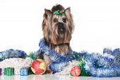 foto of yorkshire terrier  - Yorkshire Terrier on a background of Christmas gifts and garlands - JPG