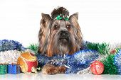 image of yorkshire terrier  - Yorkshire terrier sitting in Christmas balls and garlands - JPG
