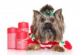 picture of yorkshire terrier  - Yorkshire Terrier with red Christmas candles on a white background - JPG