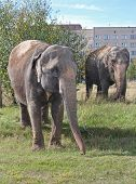 image of indian elephant  - Two Indian elephant walking in a meadow near the multistory building a sunny summer day - JPG