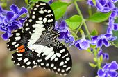 picture of lime-blossom  - Close up black and white spots of Papilio demoleus or Lime butterfly eating nectar on blue flower - JPG