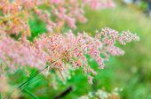 stock photo of natal  - Beautiful pink flower of Melinis repens or Rose Natal Grass - JPG